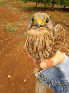Kestrel in my hand