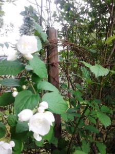 Rosen und Stacheldraht